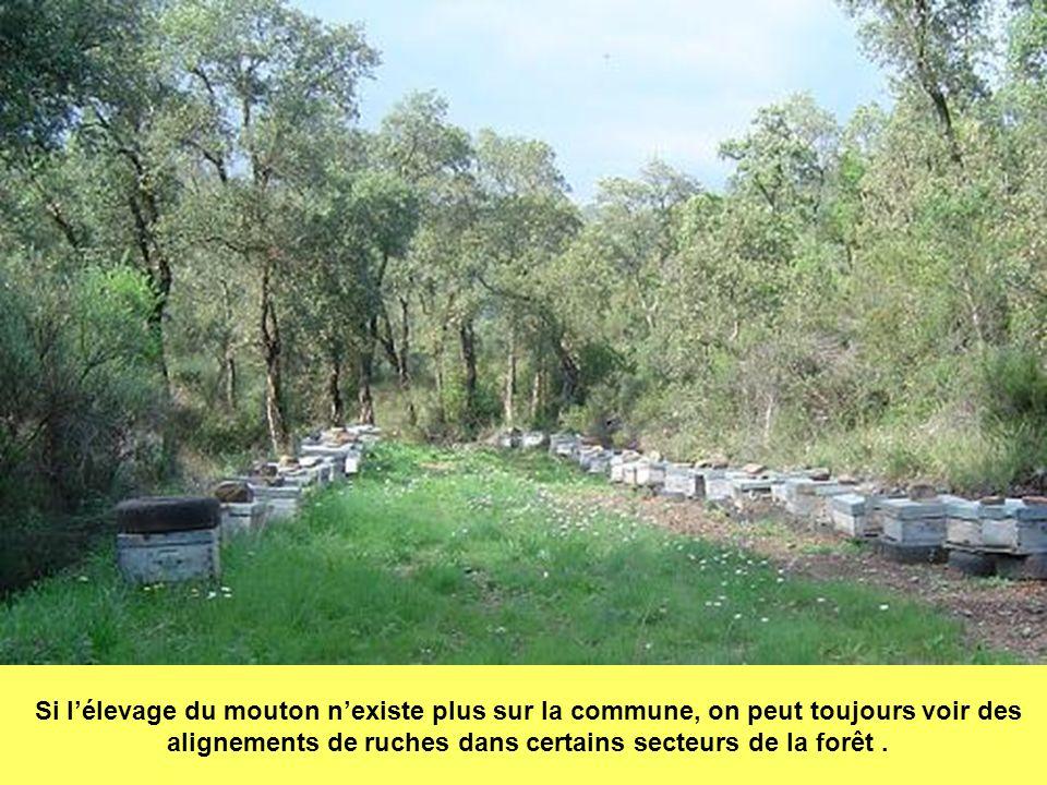 Si l'élevage du mouton n'existe plus sur la commune, on peut toujours voir des alignements de ruches dans certains secteurs de la forêt .