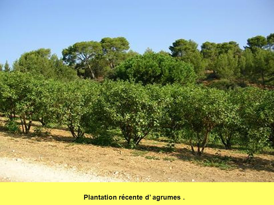 Plantation récente d' agrumes .