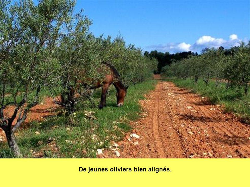 De jeunes oliviers bien alignés.