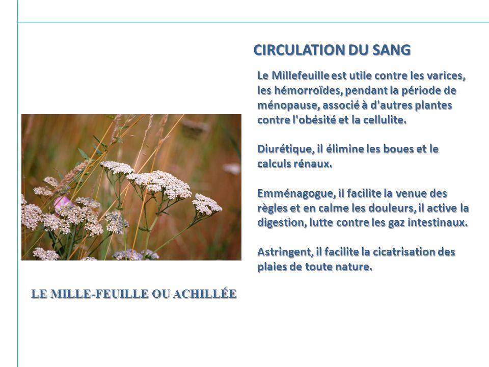 LE MILLE-FEUILLE OU ACHILLÉE