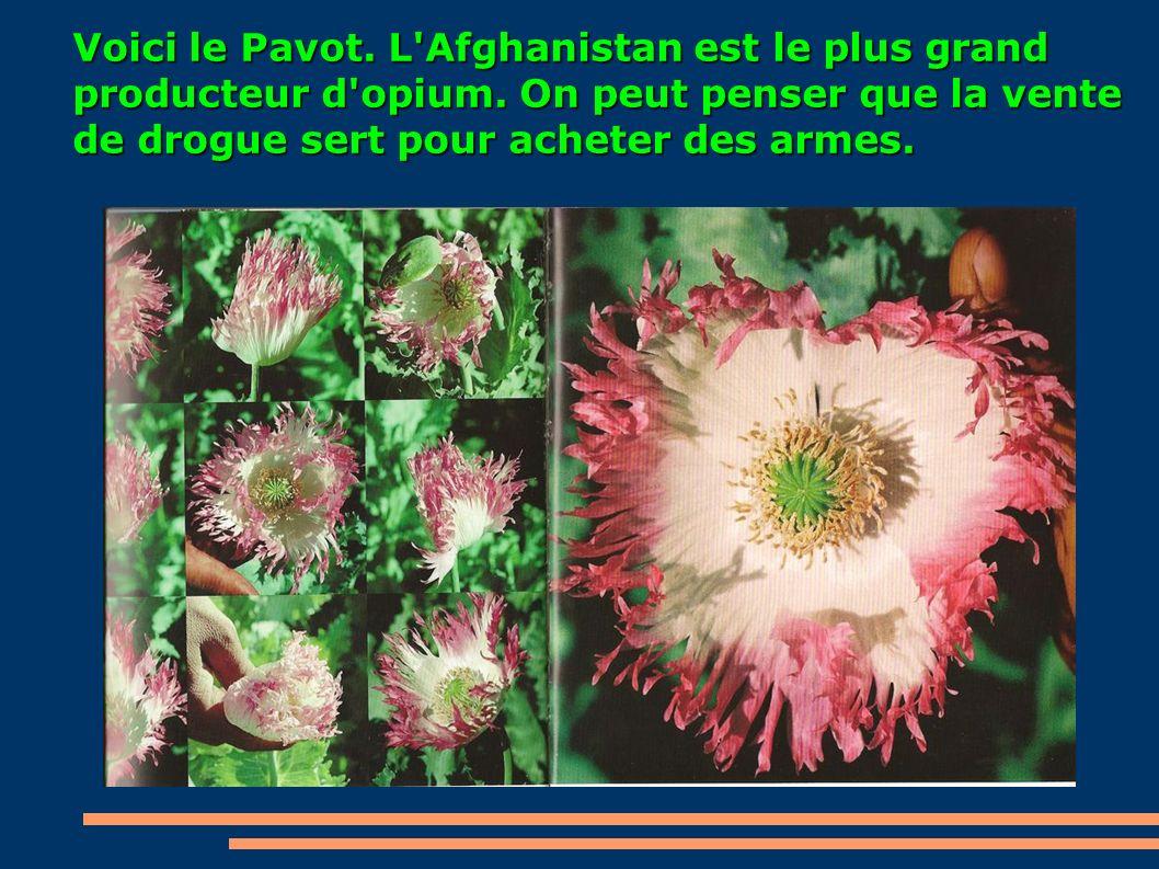 Voici le Pavot. L Afghanistan est le plus grand producteur d opium