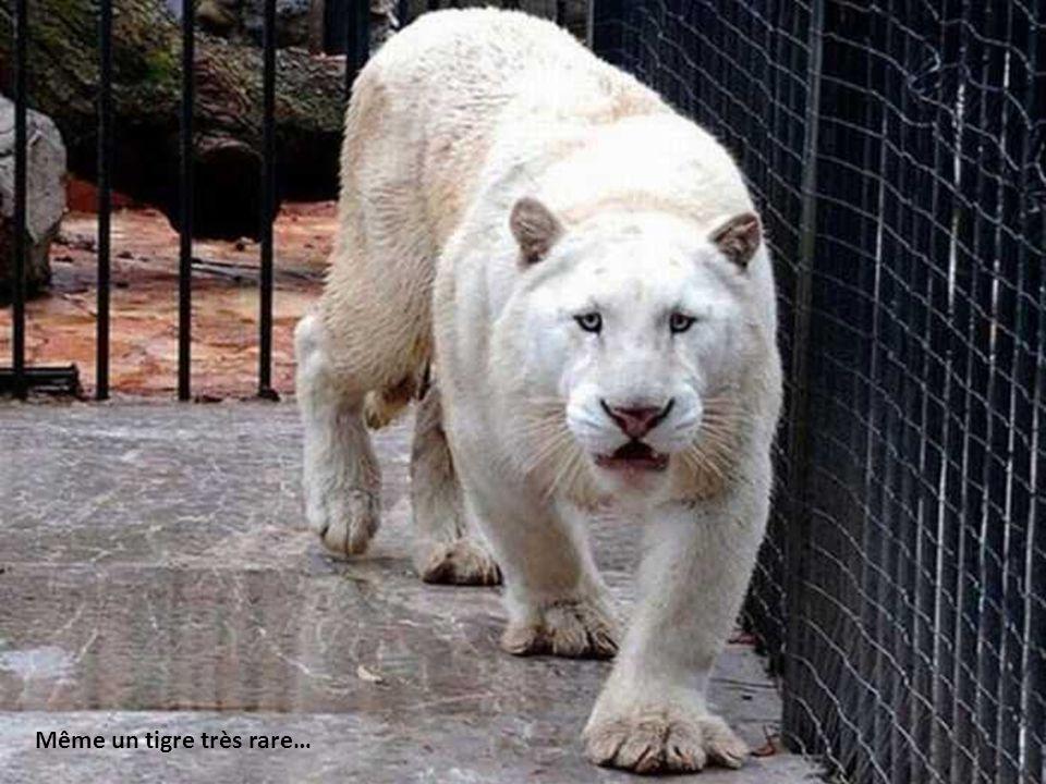 Même un tigre très rare…