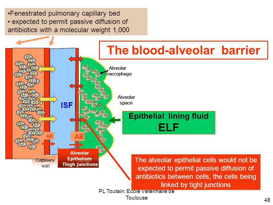 The blood-alveolar barrier