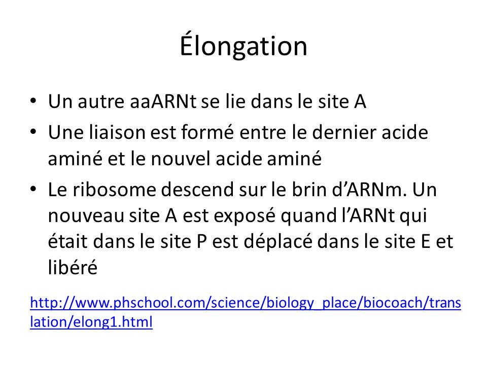 Élongation Un autre aaARNt se lie dans le site A