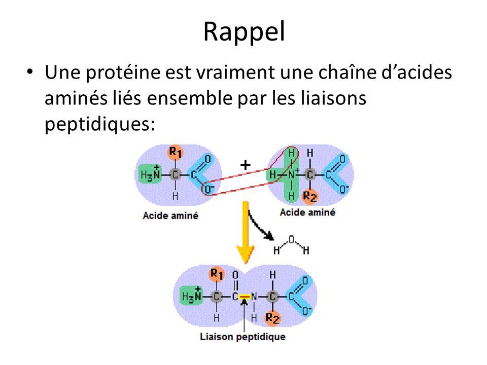 Rappel Une protéine est vraiment une chaîne d'acides aminés liés ensemble par les liaisons peptidiques: