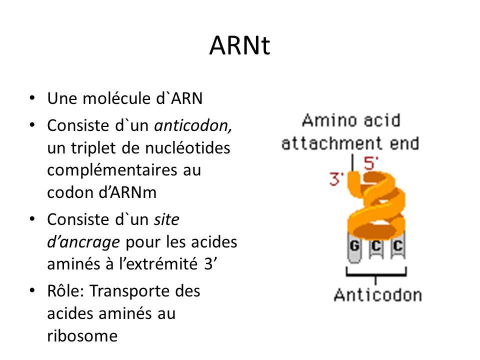 ARNt Une molécule d`ARN