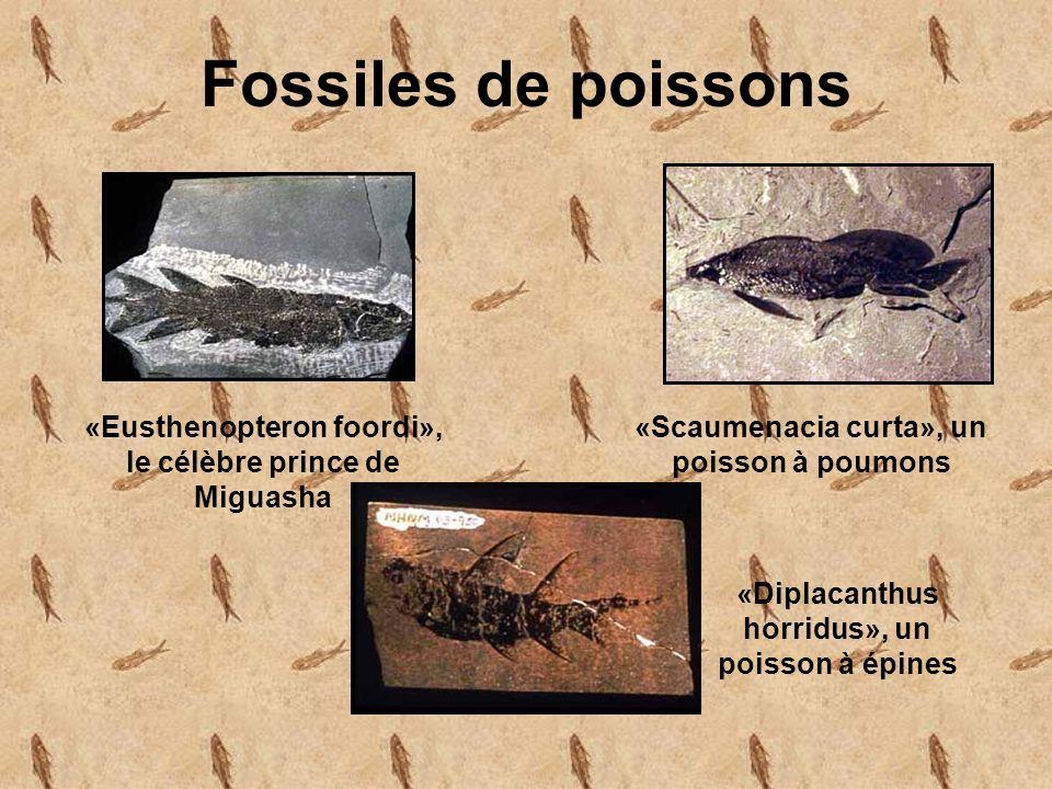 Fossiles de poissons «Eusthenopteron foordi», le célèbre prince de Miguasha. «Scaumenacia curta», un poisson à poumons.