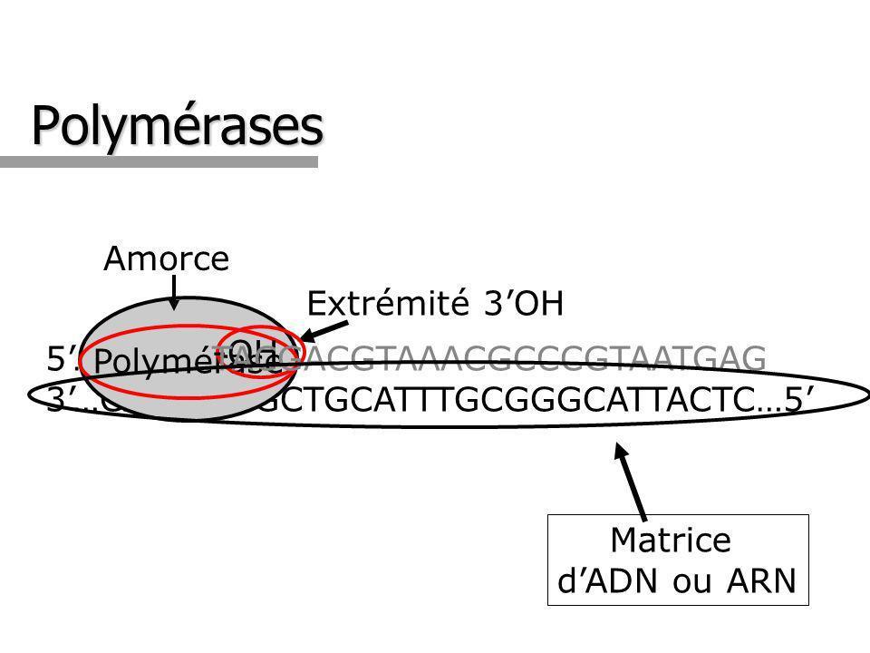 Polymérases Amorce -OH Extrémité 3'OH Polymérase 5'…GTACT