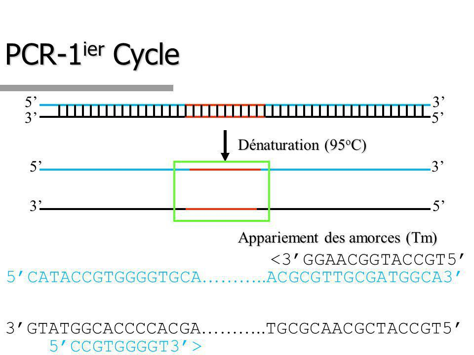 PCR-1ier Cycle <3'GGAACGGTACCGT5'