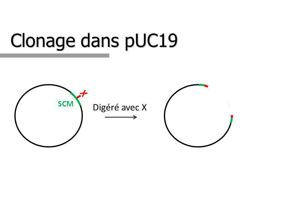 Clonage dans pUC19 SCM X Digéré avec X