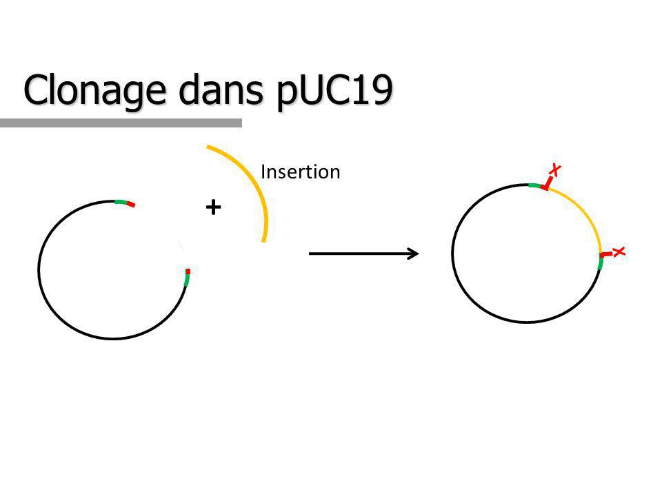 Clonage dans pUC19 + Insertion X