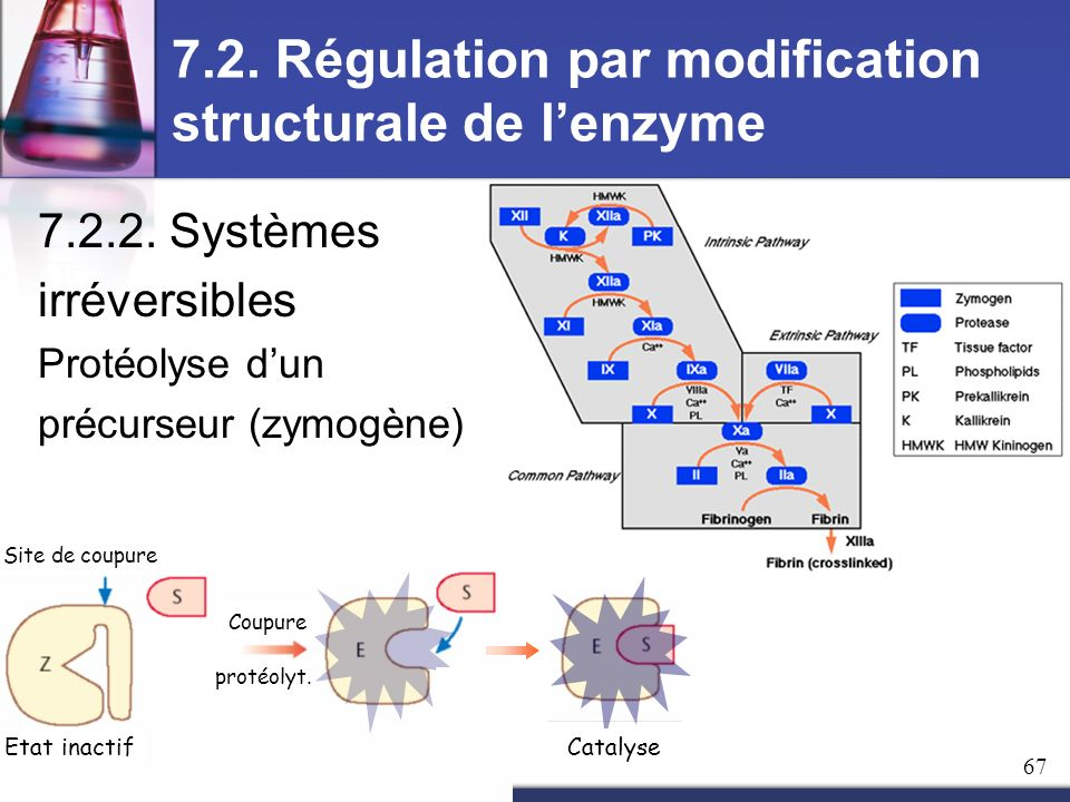 7.2. Régulation par modification structurale de l'enzyme