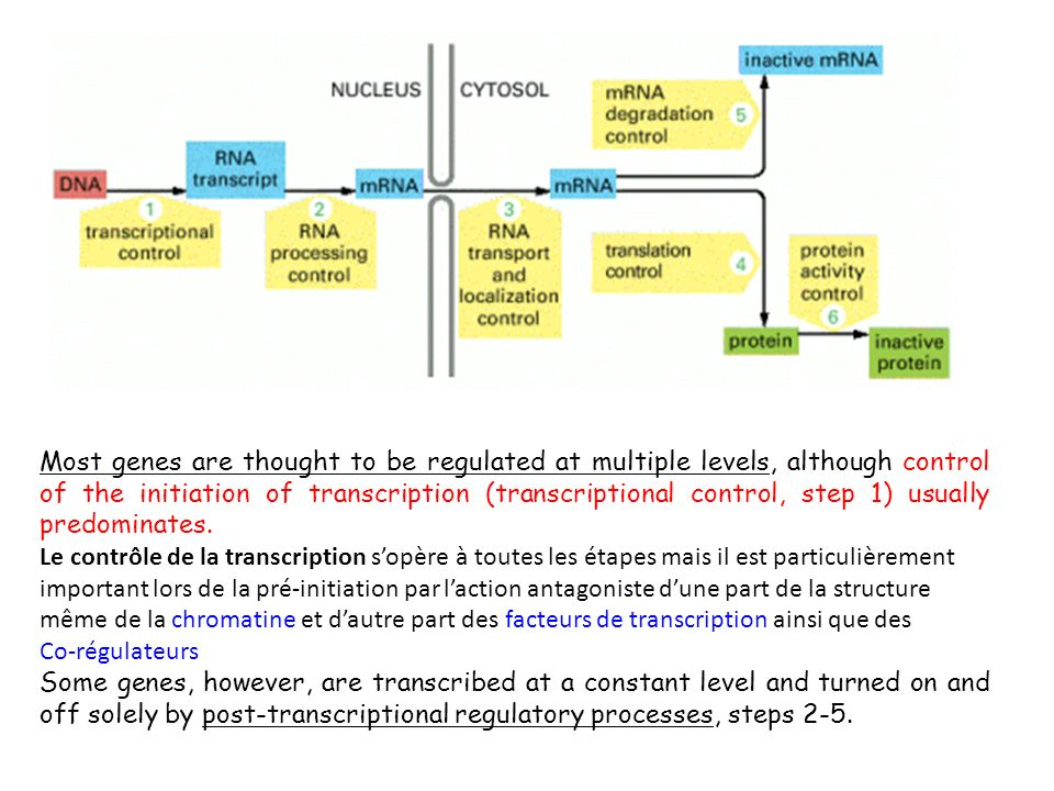 Most genes are thought to be regulated at multiple levels, although control of the initiation of transcription (transcriptional control, step 1) usually predominates.