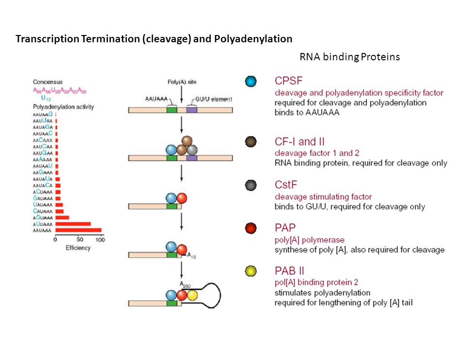Transcription Termination (cleavage) and Polyadenylation