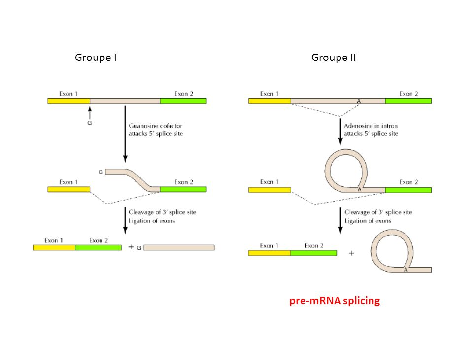 Groupe I Groupe II pre-mRNA splicing