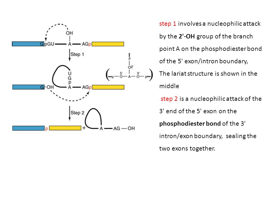 step 1 involves a nucleophilic attack by the 2 -OH group of the branch point A on the phosphodiester bond of the 5 exon/intron boundary,