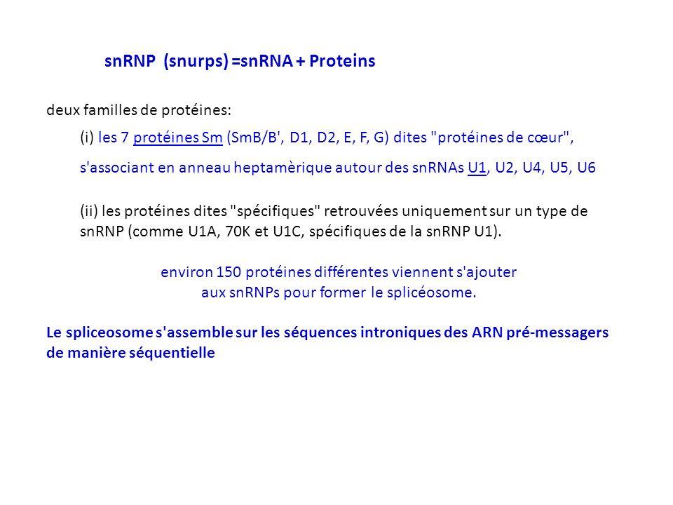 snRNP (snurps) =snRNA + Proteins