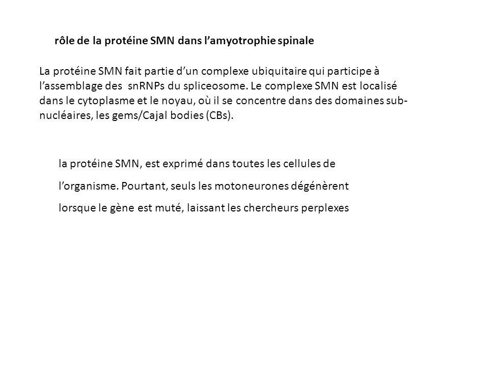 rôle de la protéine SMN dans l'amyotrophie spinale