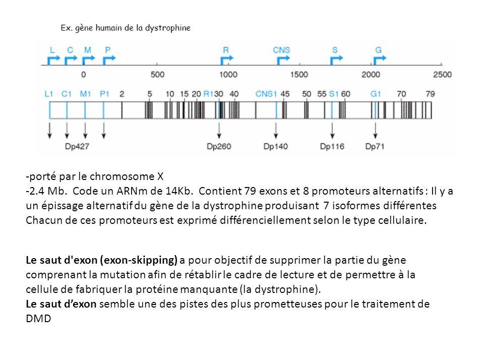 -porté par le chromosome X