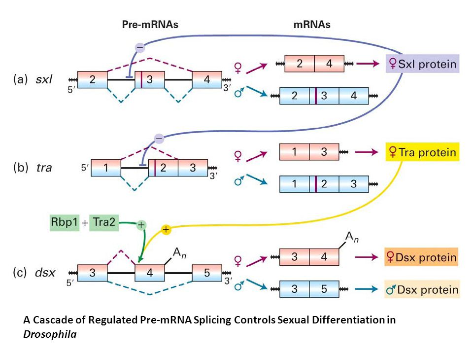 A Cascade of Regulated Pre-mRNA Splicing Controls Sexual Differentiation in Drosophila
