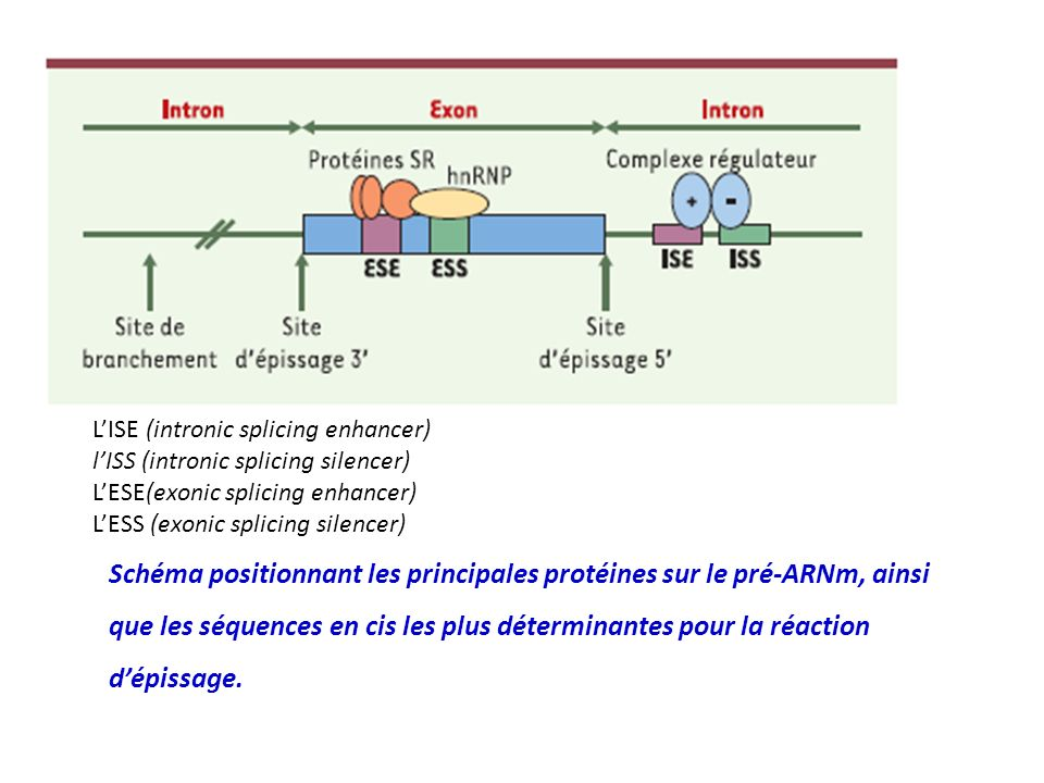 L'ISE (intronic splicing enhancer)