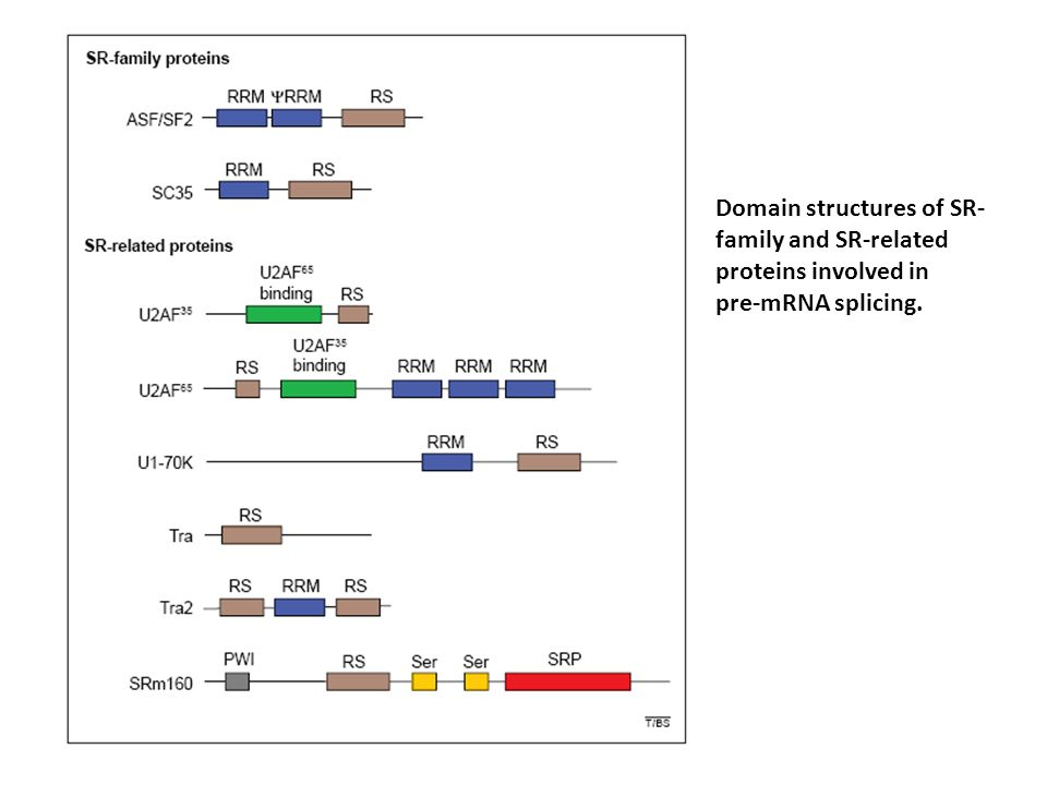 Domain structures of SR-family and SR-related proteins involved in