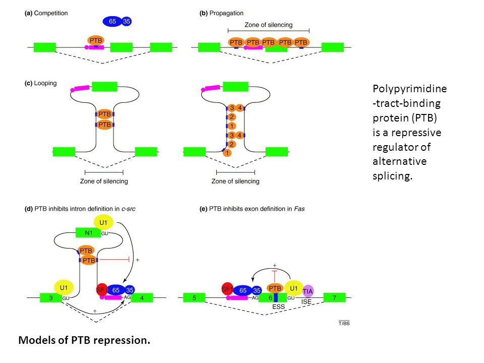 Polypyrimidine-tract-binding protein (PTB) is a repressive regulator of alternative splicing.