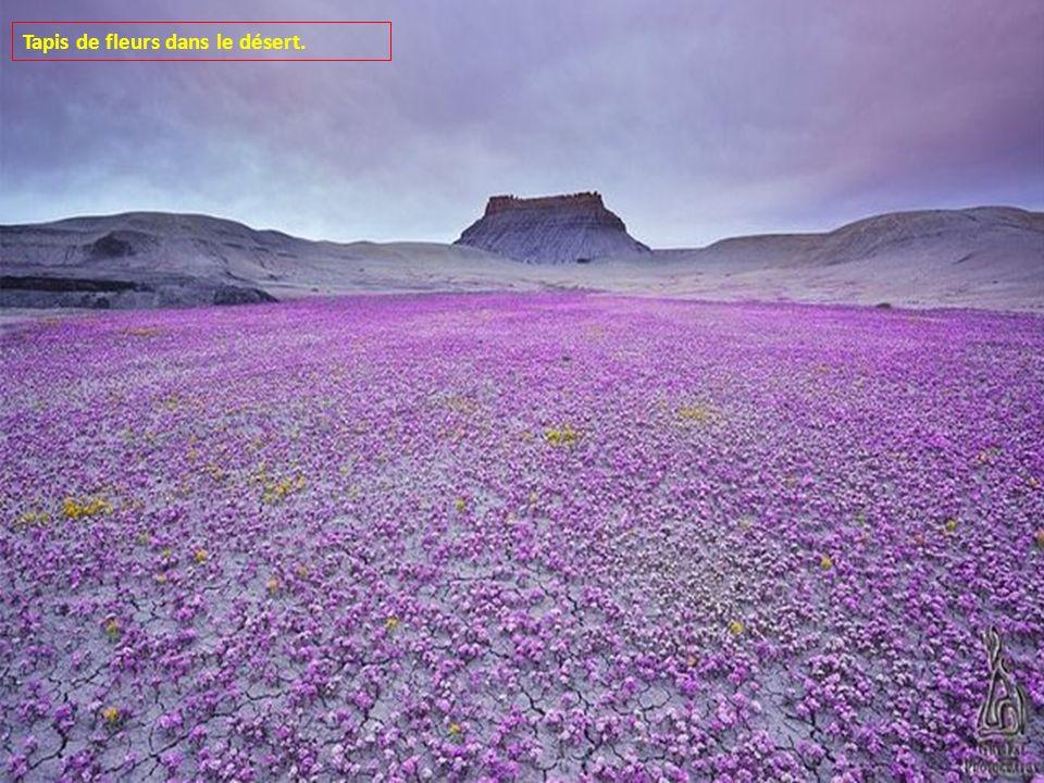 Tapis de fleurs dans le désert.