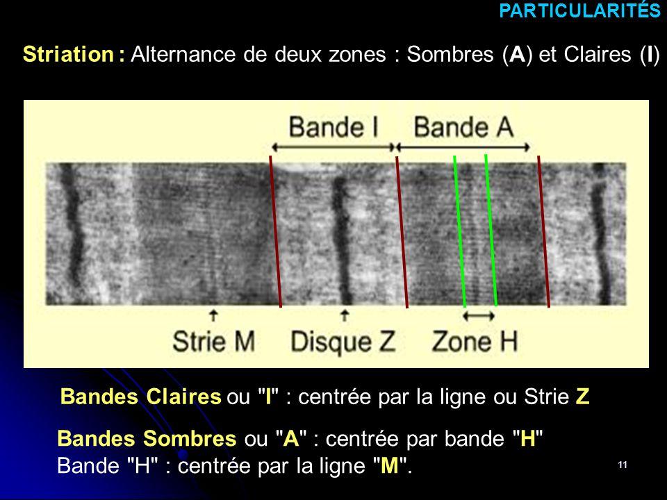 Striation : Alternance de deux zones : Sombres (A) et Claires (I)