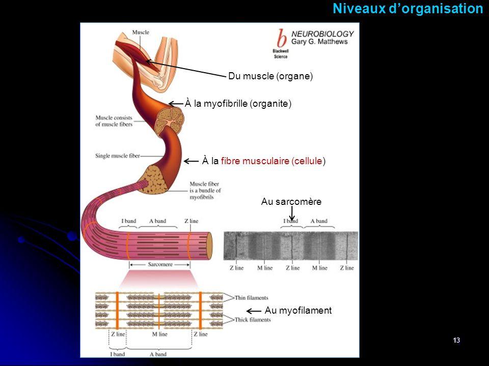 À la myofibrille (organite)