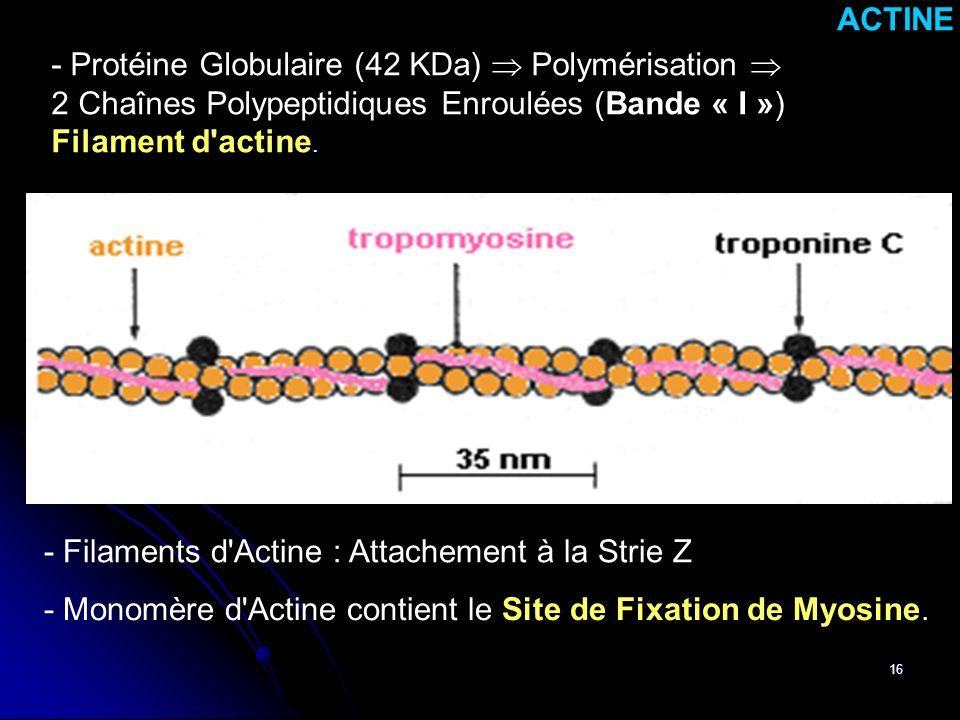 ACTINE - Protéine Globulaire (42 KDa)  Polymérisation  2 Chaînes Polypeptidiques Enroulées (Bande « I »)