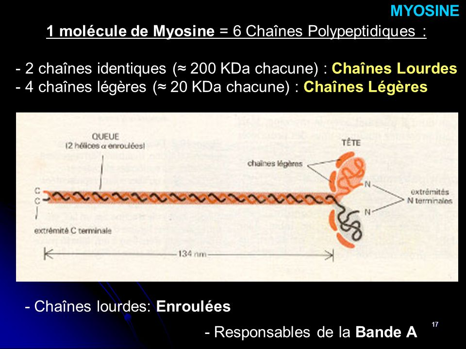 1 molécule de Myosine = 6 Chaînes Polypeptidiques :