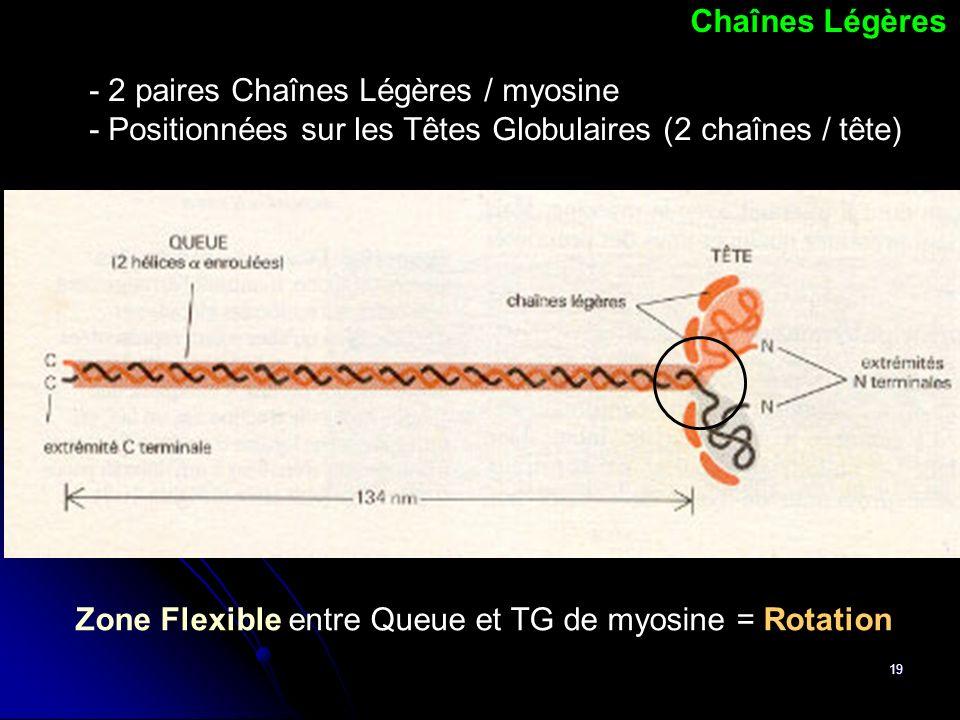 Chaînes Légères - 2 paires Chaînes Légères / myosine. - Positionnées sur les Têtes Globulaires (2 chaînes / tête)