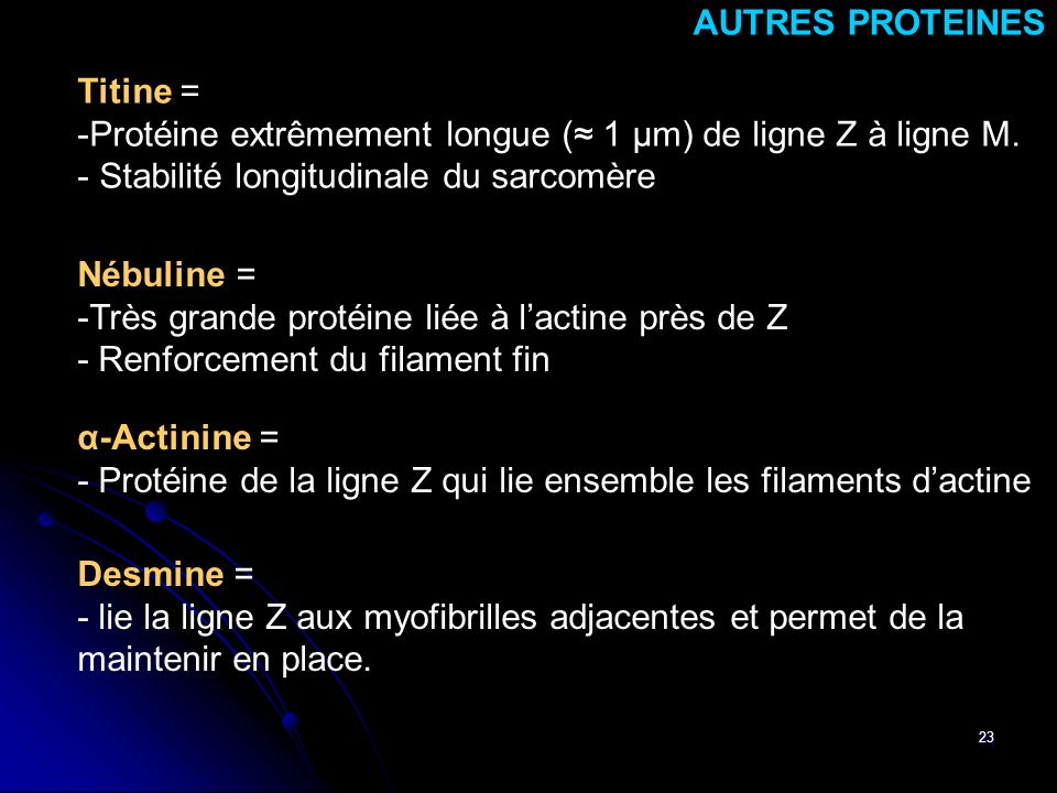 AUTRES PROTEINES Titine = Protéine extrêmement longue (≈ 1 μm) de ligne Z à ligne M. Stabilité longitudinale du sarcomère.