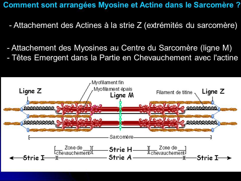 Comment sont arrangées Myosine et Actine dans le Sarcomère