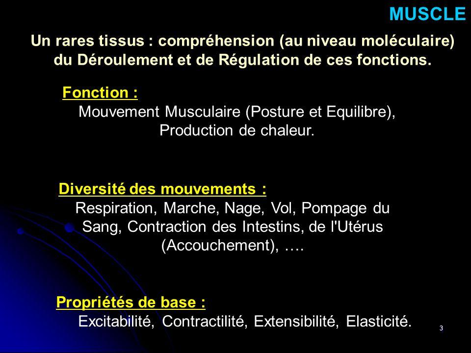 MUSCLE Un rares tissus : compréhension (au niveau moléculaire)