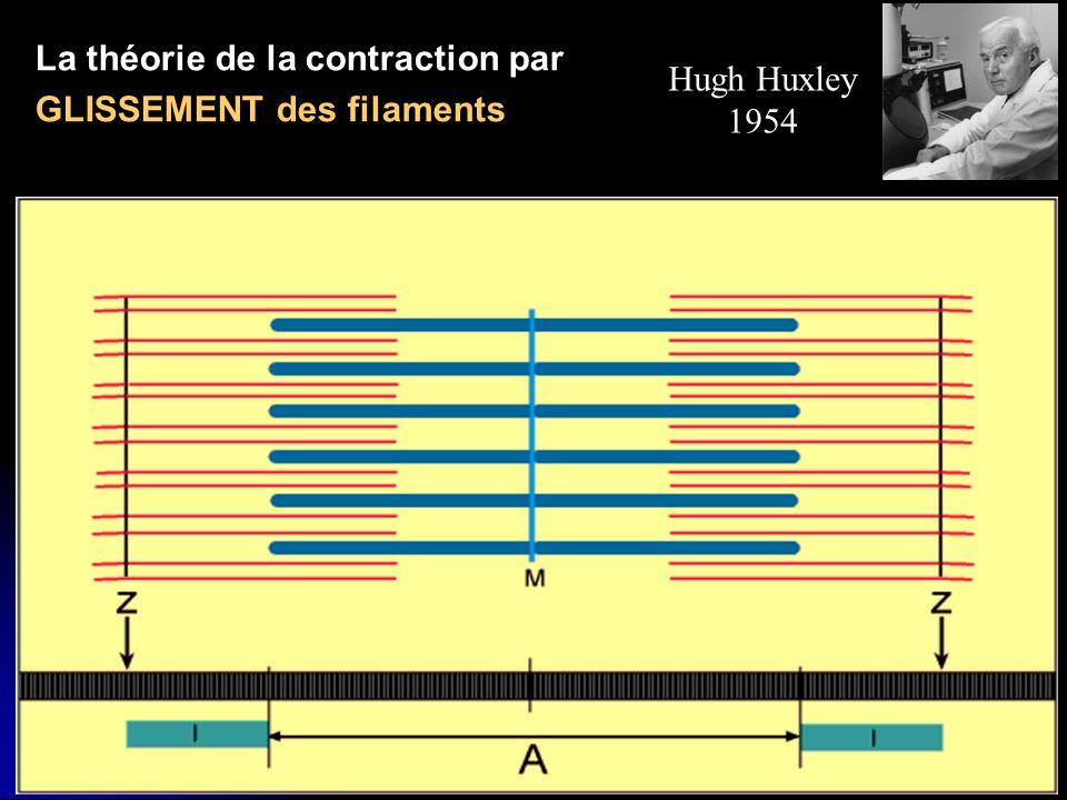 Hugh Huxley 1954 La théorie de la contraction par GLISSEMENT des filaments