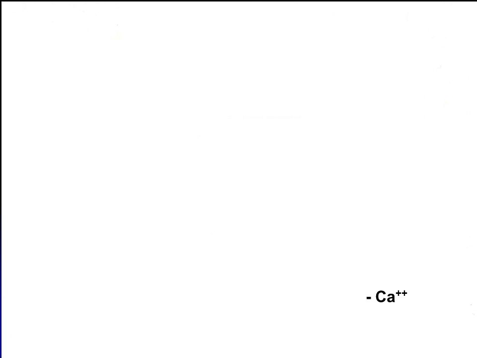 + Ca++ - Ca++