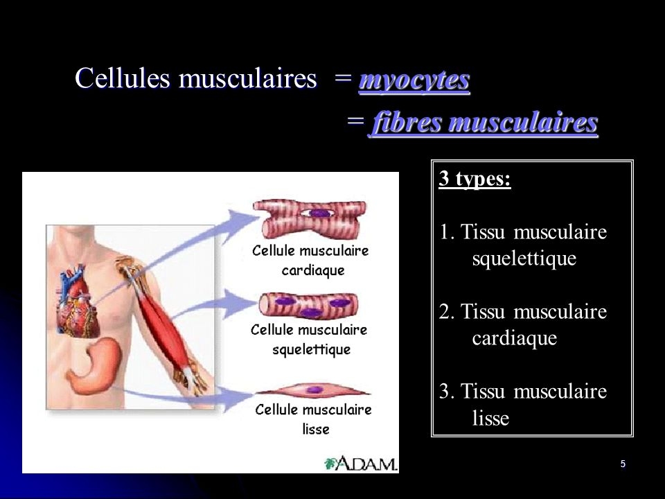 Cellules musculaires = myocytes = fibres musculaires