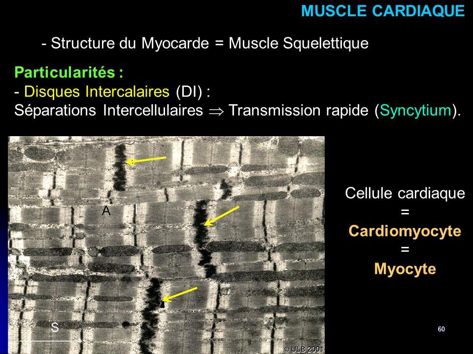 MUSCLE CARDIAQUE Myocyte