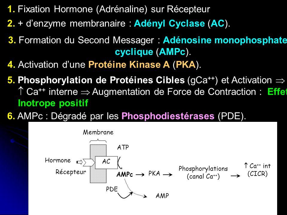 1. Fixation Hormone (Adrénaline) sur Récepteur