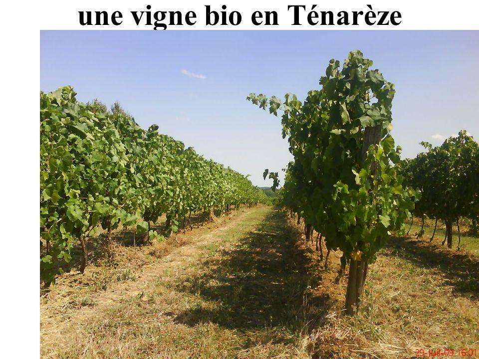 une vigne bio en Ténarèze