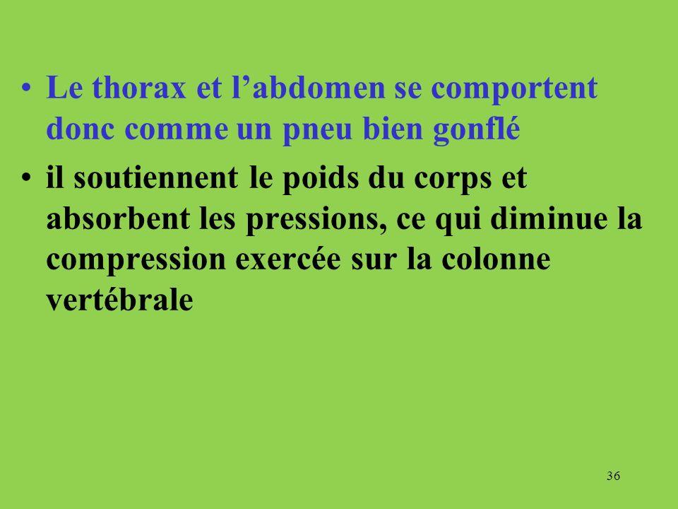 Le thorax et l'abdomen se comportent donc comme un pneu bien gonflé