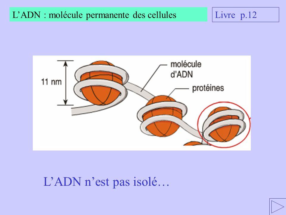 L'ADN n'est pas isolé… L'ADN : molécule permanente des cellules