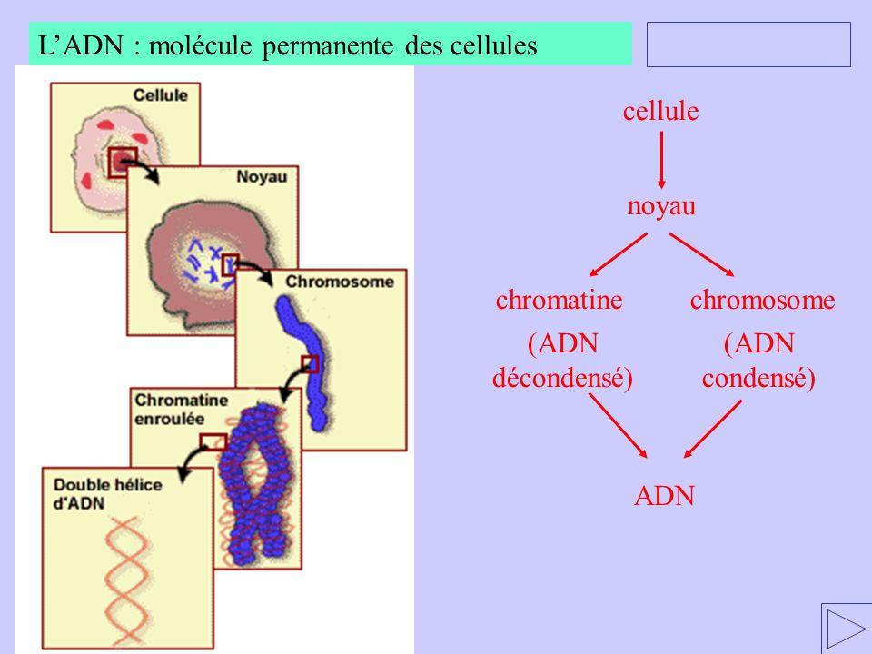 L'ADN : molécule permanente des cellules