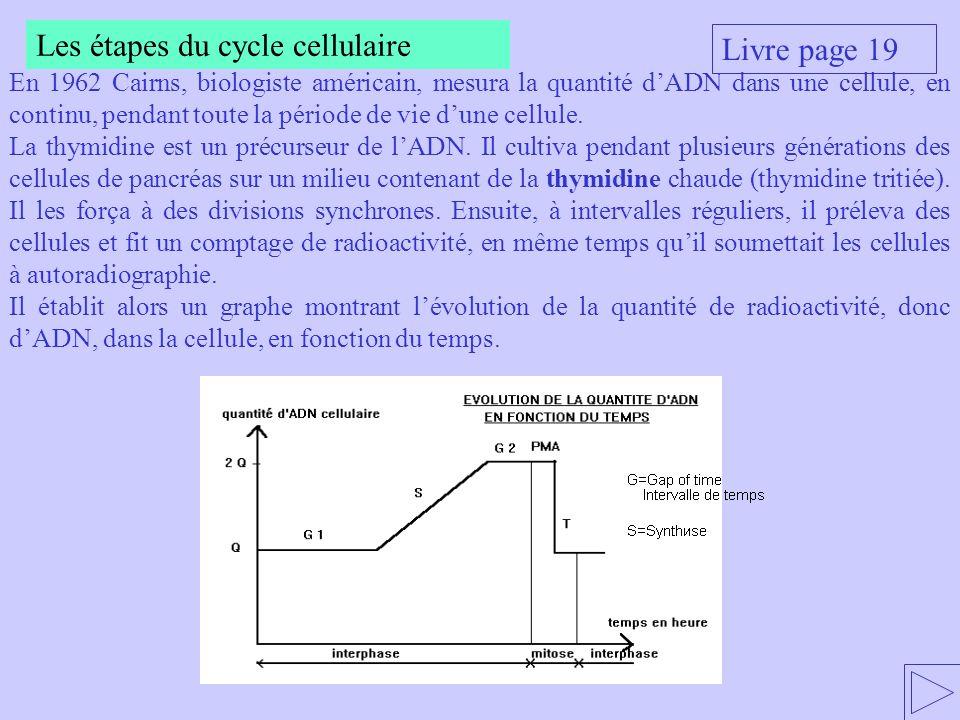 Les étapes du cycle cellulaire Livre page 19