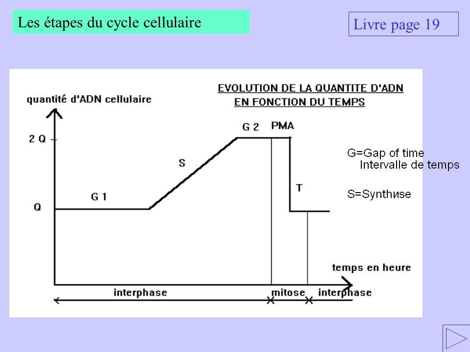Les étapes du cycle cellulaire