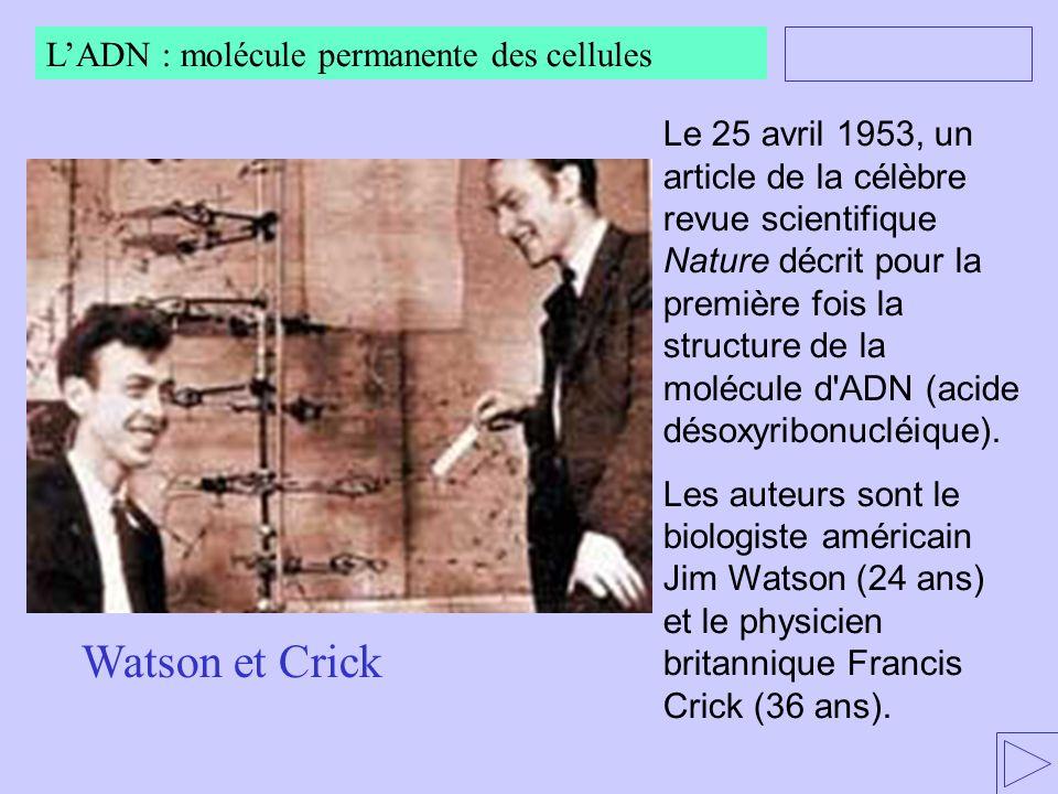 Watson et Crick L'ADN : molécule permanente des cellules