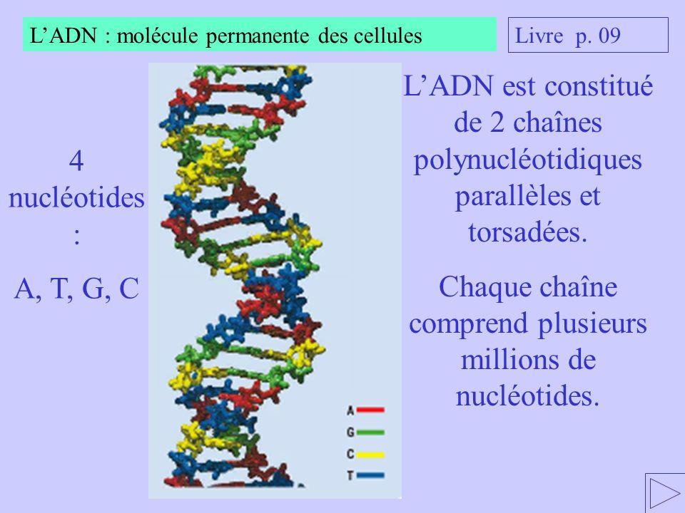 Chaque chaîne comprend plusieurs millions de nucléotides.