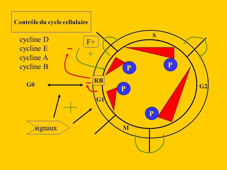 Contrôle du cycle cellulaire